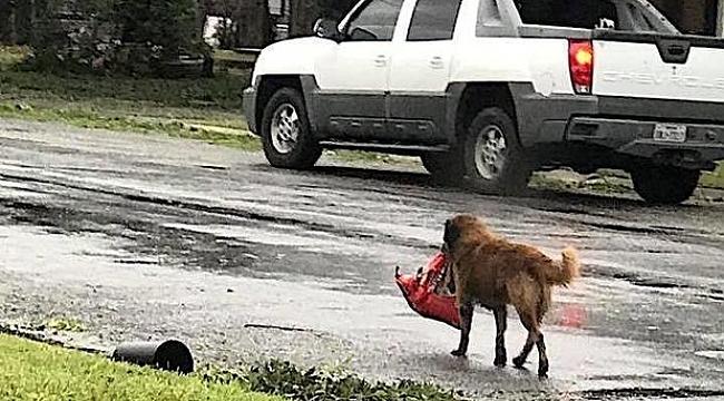 Harvey Kasırgasının Kahramanı Köpek Otis