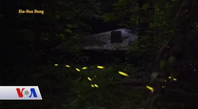 Tennessee'de Ateşböceklerinin Işık Gösterisi