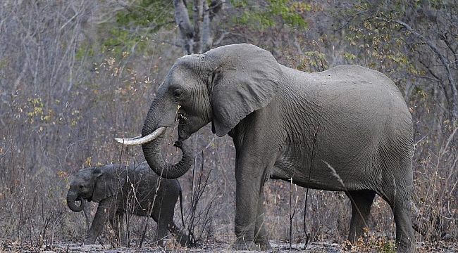 Nesli tükenen Afrika fili için ABD'den tartışmalı karar
