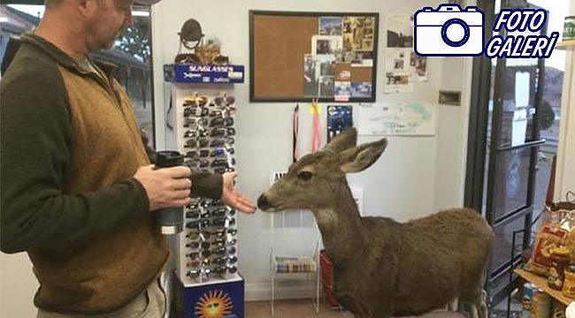 Colorado eyaleti Fıstıkçı Geyiği konuşuyor