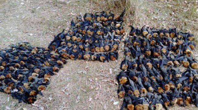 Şok fotoğraf! Aşırı sıcakta haşlanıp ölen yarasalar dehşete düşürdü