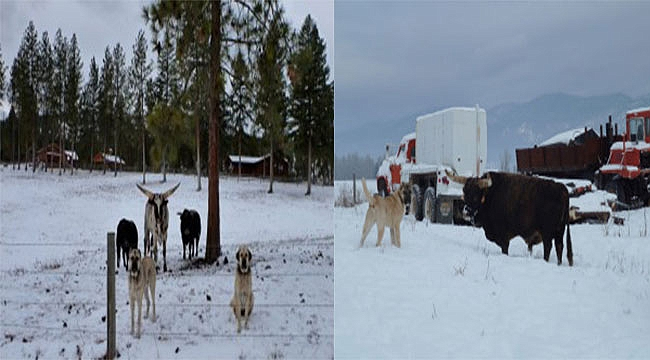 Kangal Köpeklerinin ABD'de Başarısı
