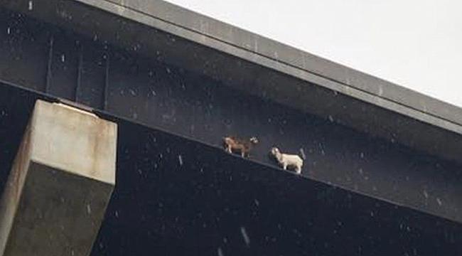 2 İnatçı Keçi New Castle Köprüsünde Karşılaştı
