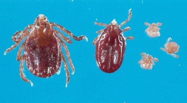 A swarming, exotic tick species is now living year round in N.J.