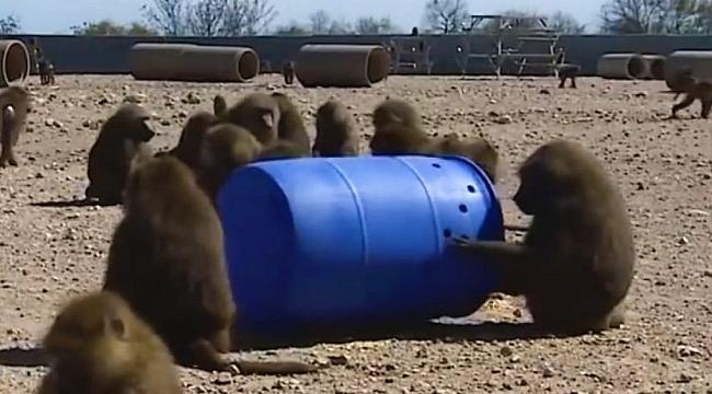 Teksas'ta Babunları Firar Planı