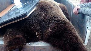 Çiftliğe dadanan kahverengi ayı vuruldu!