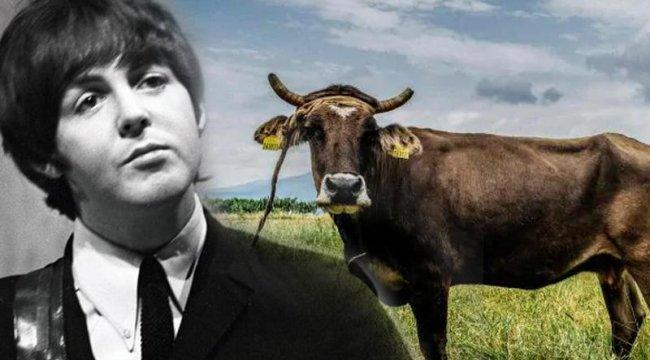 Kaçak ineği Paul McCartney kurtardı