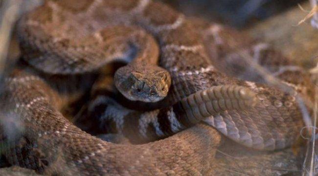 Kesik çıngıraklı yılan kafası, bir adamı ısırdı