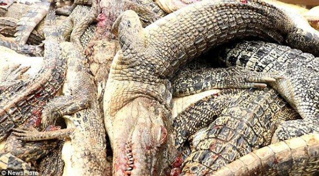Endonezya'da timsah katliamı! 292 tanesi birden...