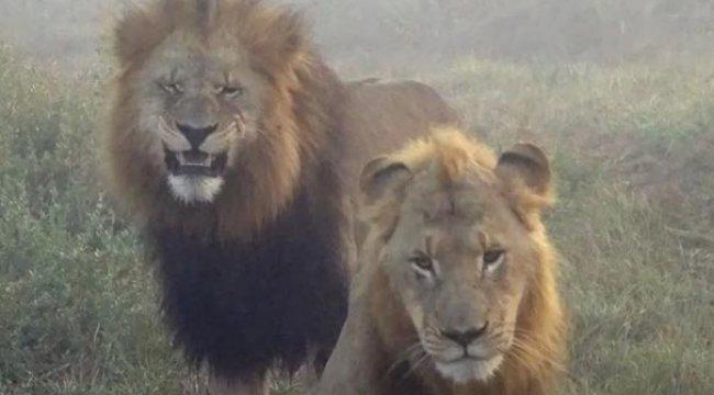 Gergedan avlamak isteyen 2 kişi aslanlara yem oldu