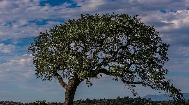 Tarihi Ağacı Kesen Aileye 600 Bin Dolar Ceza
