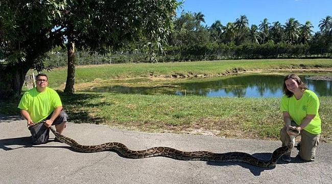 Florida'da 100 kiloluk Piton Yakalandı