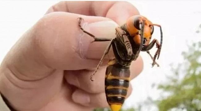 """Amerika'nın yeni kâbusu """"katil arılar"""""""