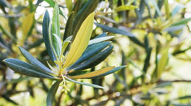 Corona'ya Zeytin Yaprağı