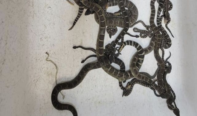 A man has found more than 90 snakes under a home