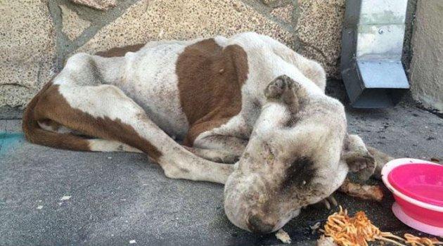 Los Angeles sokaklarında bitik halde bulunan köpeğin mucizevi dönüşümü