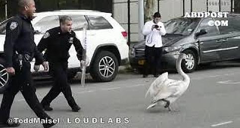 New York Polisinin Kuğu ile imtihanı www.abdpost.com